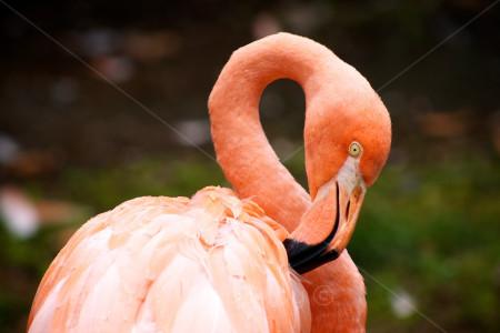 Red Bilby Flamingo